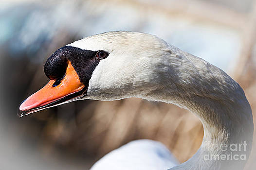Swan Neck by Dolly Genannt
