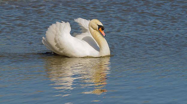 Swan reflection by Jeffrey Banke