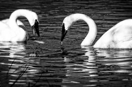 Swan Song by Cheryl Cencich