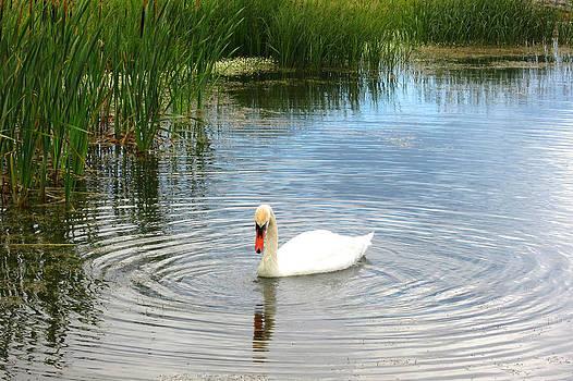 Swan by Sonia Ascher