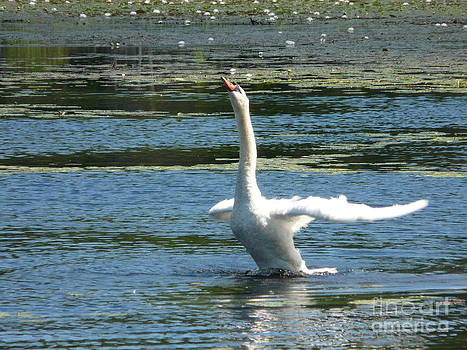 Swan Take Off by Glass Slipper
