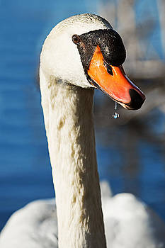 Swan with Dripping Water Bead by Dolly Genannt