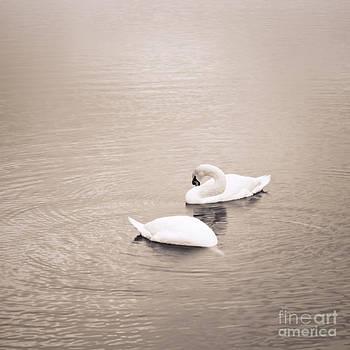 Lisa McStamp - Swans in Winter