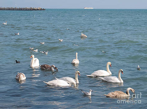 Swans on the sea coast by Kiril Stanchev