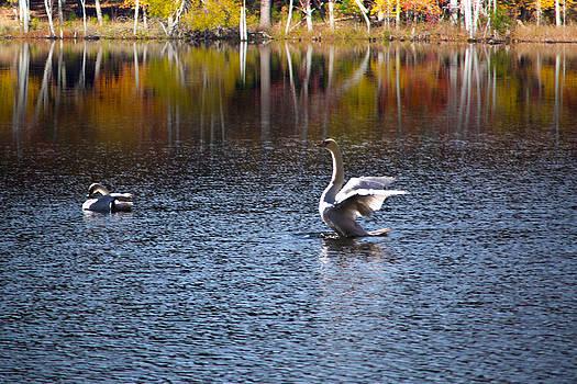 Swans  by Regina  Williams