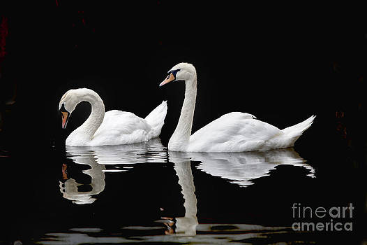 Swans by Vladimir Sidoropolev