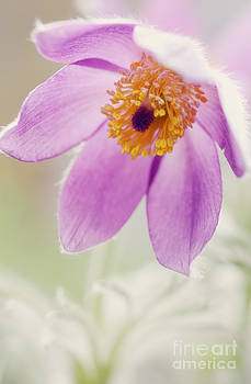 LHJB Photography - Sweet Anemone