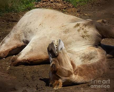 Sweet Camel Dreams by K L Roberts