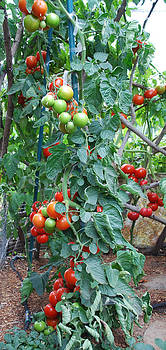 Sweet Cluster Tomato Spiral 2 by Steve Masley