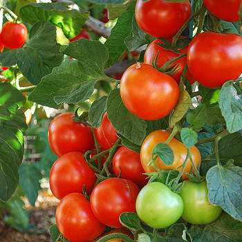 Sweet Cluster Tomatoes by Steve Masley