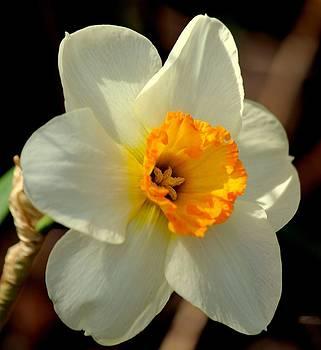 Rosanne Jordan - Sweet Daffodil Spring
