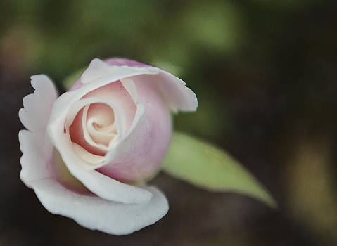 Sweet Pink Rose by Heather Grow