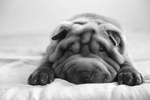 Sweet Shar-pei Puppy 2 by Luciana Couto
