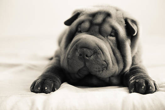Sweet Shar-pei Puppy 3 by Luciana Couto