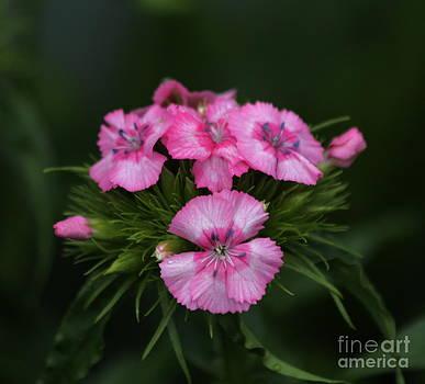 Sweet William Flower by Marjorie Imbeau