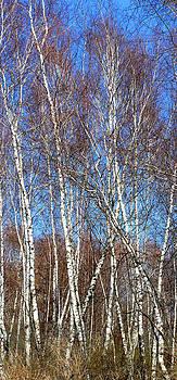 Anne Cameron Cutri - Tall White Birches