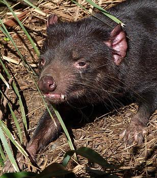 Margaret Saheed - Tasmanian Devil