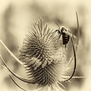Steve Harrington - Teasel and Bee - Sepia