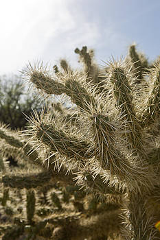 Teddy Bear Cholla by Joel Moranton