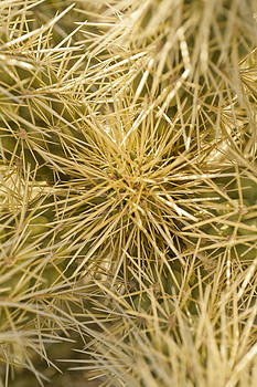 Teddybear Cholla close up by Joel Moranton