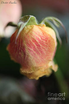 Tenderness - December Rose Love Story. by  Andrzej Goszcz