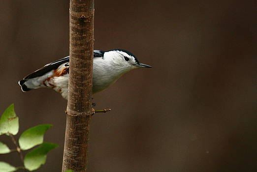 Tennessee Nuthatch by Jim Johnson