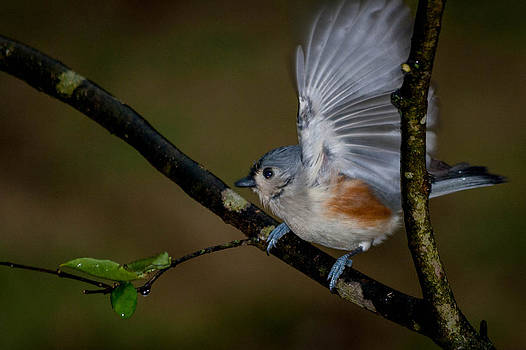 Tennessee Tufted Titmouse by Jim Johnson