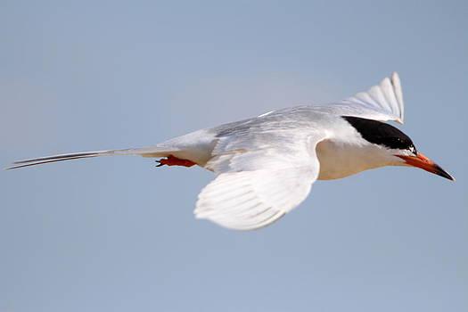 Tern Bird by Diane Rada