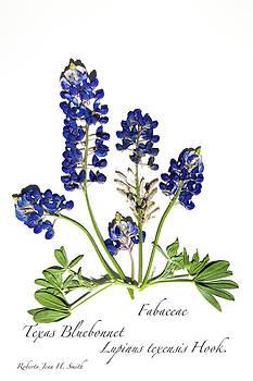 Texas Bluebonnet by Roberta Jean Smith