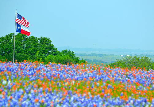 Texas Bluebonnets by Becke Smith