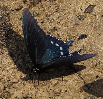 The Beautiful Spicebush Swallowtail by Kim Pate