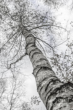 Hannes Cmarits - the birch tree