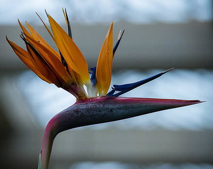 The Bird of Paradise by Wanda J King
