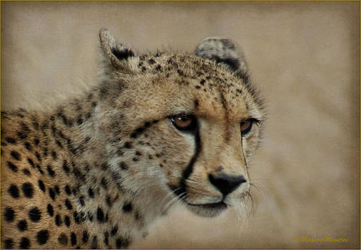 The Cheetah In Portrait by Judith Meintjes