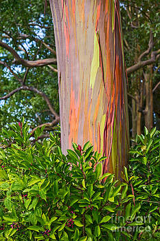 Jamie Pham - The colorful and magical Rainbow Eucalyptus tree.