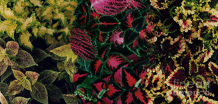 The Colors Of Coleus Leaves by ImagesAsArt Photos And Graphics