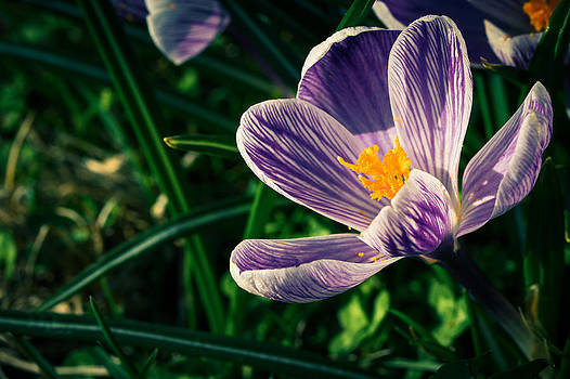 The Crocus by Andreas Levi