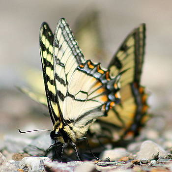 The feast-Papilio canadensis by Monic LaRochelle
