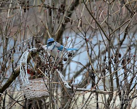 The Gathering Blue Jay by Marjorie Imbeau