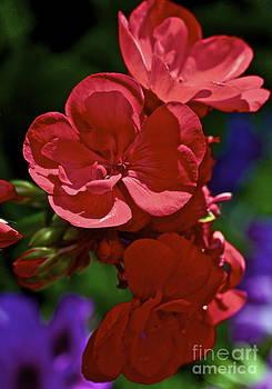 Gwyn Newcombe - The Geraniums