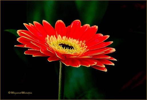 The Gerbera Striking And Vibrant In Red by Judith Meintjes