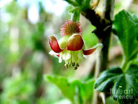 Joe Cashin - The Gooseberry flower