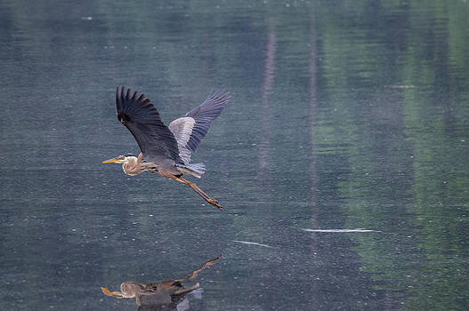 The Great Blue Heron by Jens Larsen