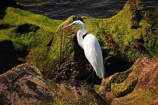 The Great Egret by Joe Varneke