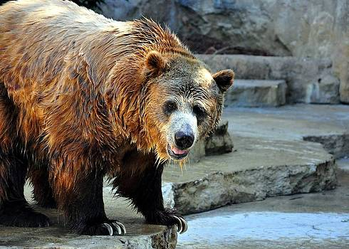 The Grizzly Bear by Cherie Haines