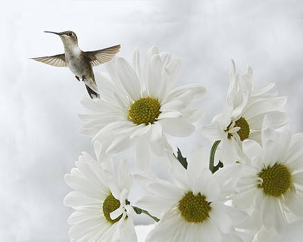 The Hummingbird and the Daisy by Katie Abrams