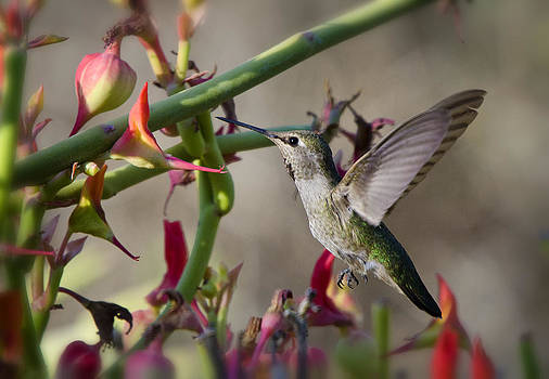 Saija  Lehtonen - The Hummingbird and the Slipper Plant