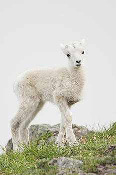Tim Grams - The Innocence of a Lamb