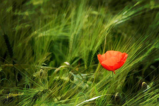 The Last Poppy  by Norman Hall