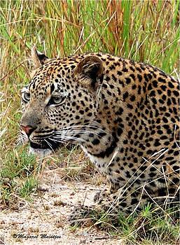 The Leopard by Judith Meintjes